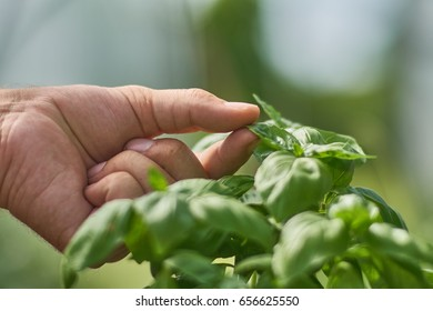 Holding a leaf of a basil plant.