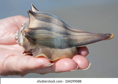 Holding a living knobbed Whelk on the beach