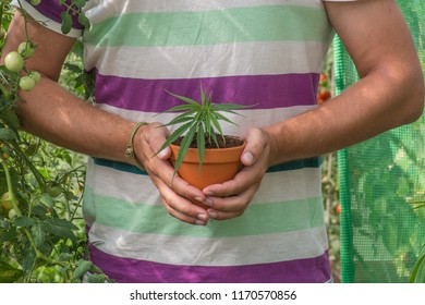 Holding a medical marijuana plant in a greenhouse.