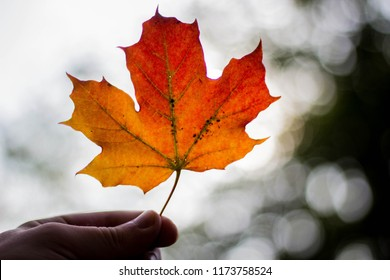 Holding red/yellow maple leaf