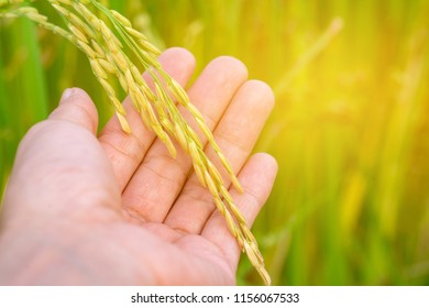 holding rice with field rice background