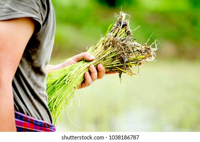 Holding seedlings farming, growing rice in rice fields