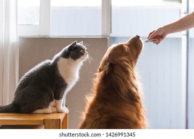 Holding a snack in hand to attract British shorthair