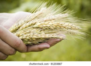 Holding Wheat