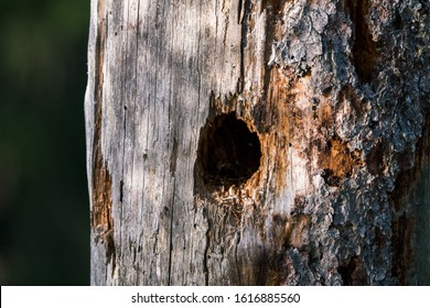 Hole in tree from woodpecker in old gnarly wood in Jura mountains wildlife habitat