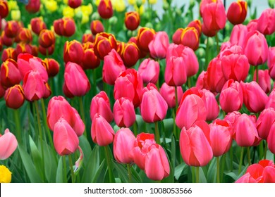 holiday or birthday background with beautiful closeup pink tulips flowerbed