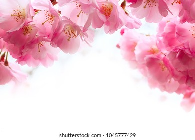 holiday card background with spring pink cherry blossom, sakura flowers branch