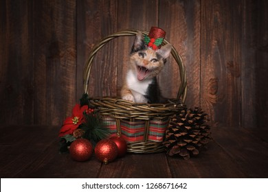 Holiday Christmas Themed Calico Kitten Set on Wooden Background