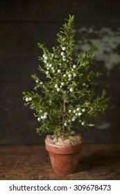 Holiday Evergreen