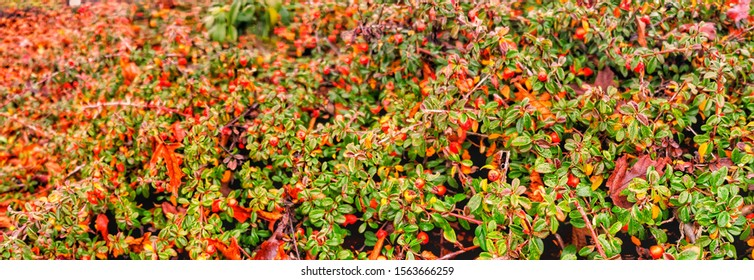 Holiday Evergreen Ground Cover with Red Berries