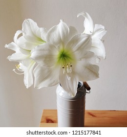 Holiday floral still life with white amaryllis in vase, close up, wooden table top, white background. Blooming flowers