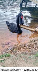 Holiday goose black