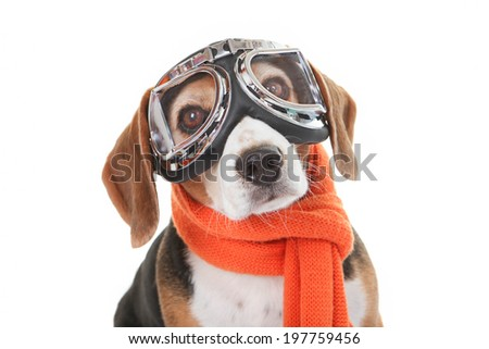 holiday travel  pet concept, dog in flying glasses