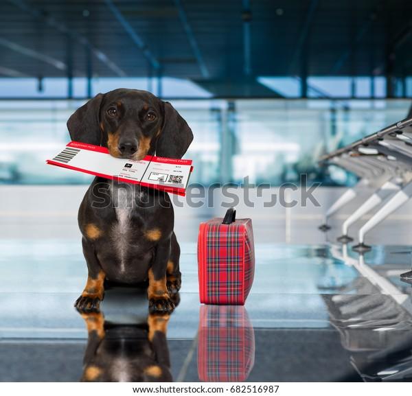 vacances dachshund saucisse chien en attente dans le terminal de l'aéroport prêt à monter à bord de l'avion ou de l'avion à la porte, bagage ou sac sur le côté