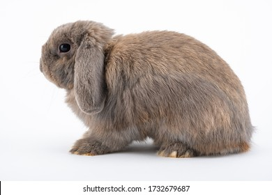 The Holland Lop is a breed of rabbit originating