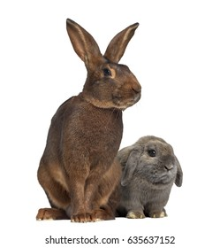 Holland Lop rabbit and Belgian Hare isolated on white