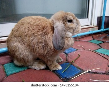 Holland Lop rabbit, lop-eared, cute, brown, is sitting on the mortar brick floor outside the room at morning. Chiang Mai, Thailand.