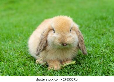 Holland lop rabbit on green grass