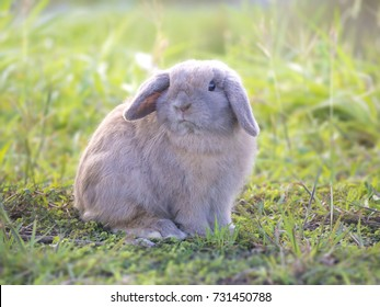 Holland Lop rabbit on the green grass