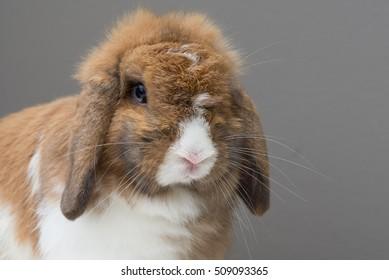 Holland lop rabbit, white Brown Bunny Rabbit, Cute rabbit