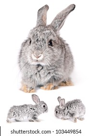The Holland Lop rabbits Ears Down are alert, timid creatures.
