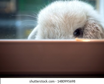 Holland lop, White rabbit. Side view of a cute Holland Lop rabbit.