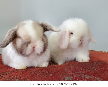 Holland lops baby bunnies as cute as ever. Grooming and dozing off on the red royal rug.