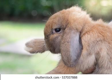 Holland lops rabbit in the garden
