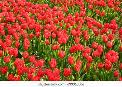Holland. Tulips.