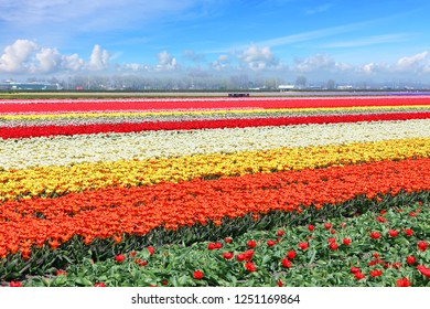Holland tulips field. Spring magic of blossom. Dutch flowers. Colorful flowering landscape. Netherlands, Lisse - Tulip-growing region