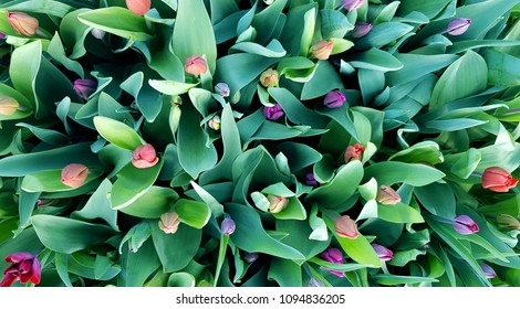 Holland tulips flowerbed, bunch of spring blossoming multicolored flowers. Top view.