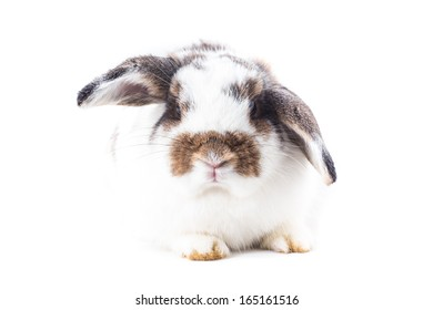 Holland-lop Rabbit on white background