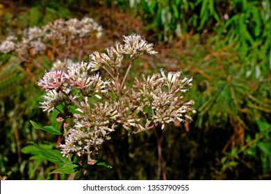 Hollow Joe-Pye Weed (Eutrochium fistulosum) bloom at Alishan Forest Recreation Area, Chiayi, Taiwan.