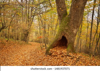 Hollow moss and oak tree in autumn forest. Landscape nature.