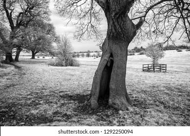 Hollow Tree, Beverley Westwood Pasture, East Yorkshire UK