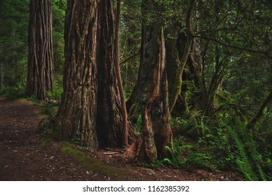 Hollowed out tree trunks in Redwood National Park in Humboldt County, California.