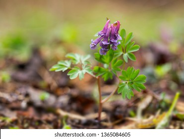 Hollowroot, Corydalis cava. Corydalis cava, violet spring flowers of corydalis, macro, close-up. Purple corydalis flowers in forest on early spring