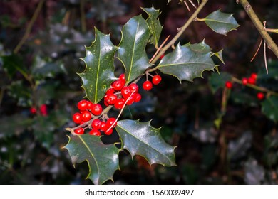 Holly a beautiful tree with red berry's picture taken in National park Dwingelderveld, province Drenthe the Netherlands