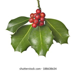 holly with berries hanging from above isolated on white.