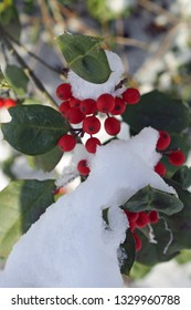 holly berries and leaves covered in snow