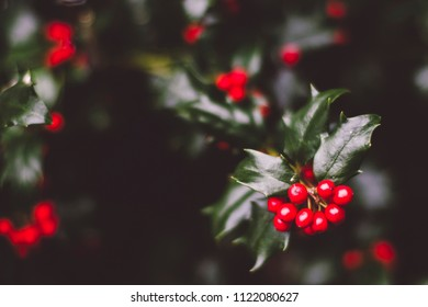 holly berry bush