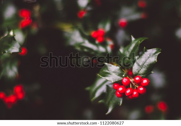 holly berry bush