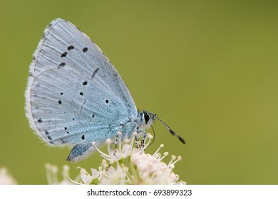 Holly blue (Celastrina argiolus) feeding on hogweed. Female British insect in the family Lycaenidae nectaring with underside visible