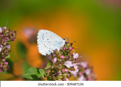 Holly Blue on a plant in a garden