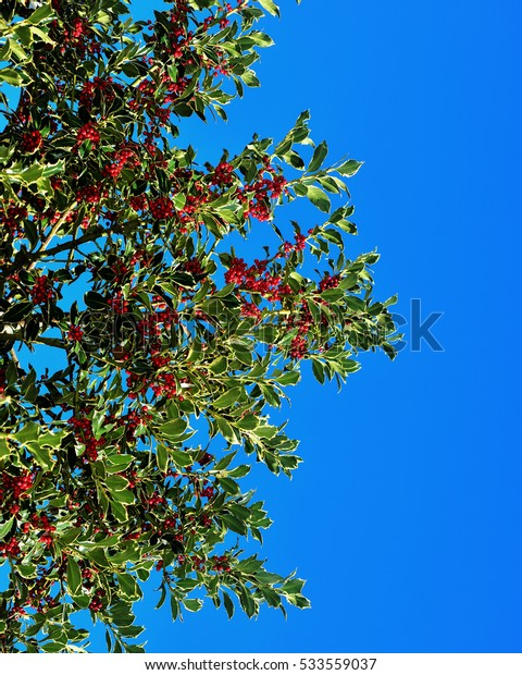 holly with blue sky background