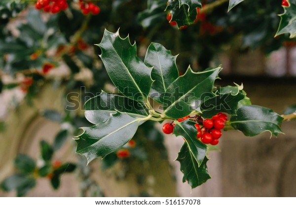 Holly bush with bright red berries close up