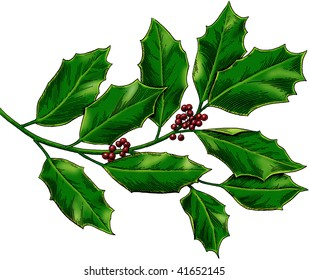 Holly, engraved style, color