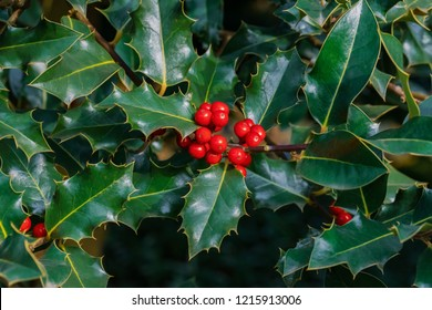 Christmas Holly Tree.Holly Tree Images Stock Photos Vectors Shutterstock