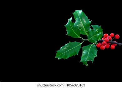 Holly Ilex and berries isolated against black background