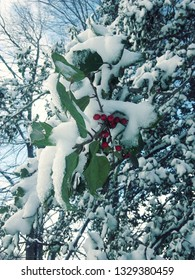 holly leaves and berries covered in snow